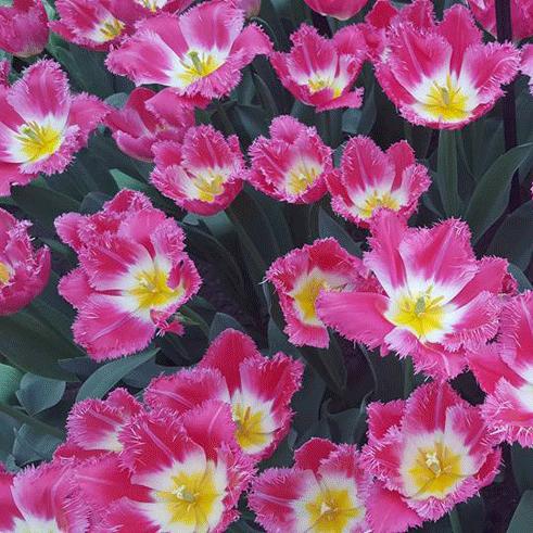 Keukenhof Flowers